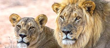 lion-sm