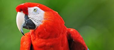 Macaw-sm