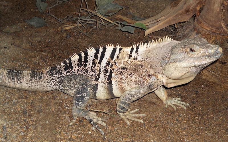 Spiny-iguana