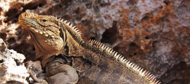 cuban-rock-iguana1