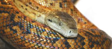 snake4a