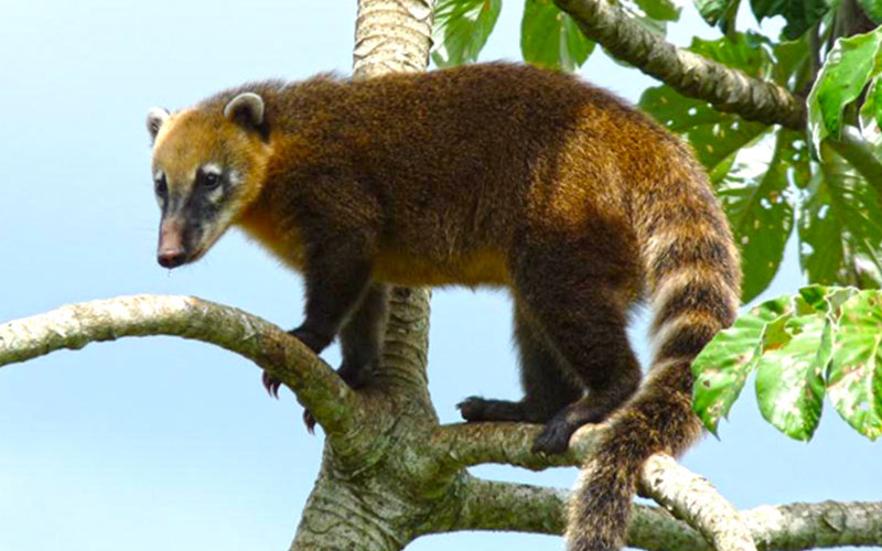 Ring Tailed Coati Hope Zoo