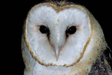 barn_owl_face_11-10-11