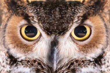 great-horned-owl-face-eye-close-up-132653688