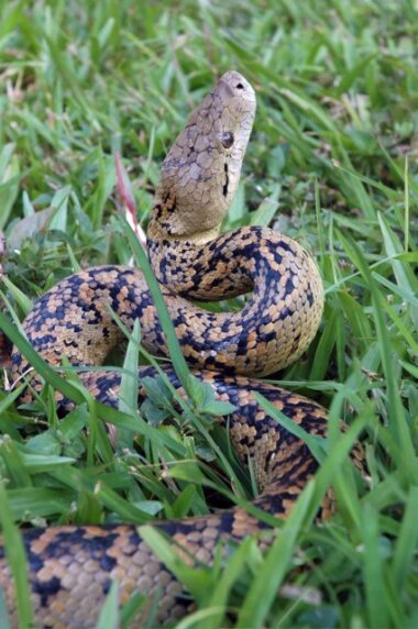 jamaican-boa-or-yellow-snake-c2a9-micheal-milinkovitch